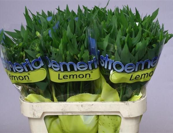 Crini incași – Alstroemeria – Lemon
