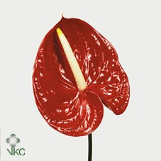 ANTHURIUM A TROPICAL
