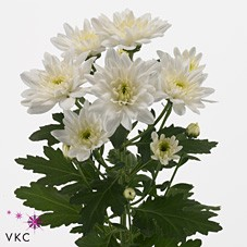 CHRYSANT BALTICA