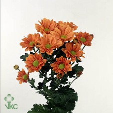CHRYSANT GRAND ORANGE