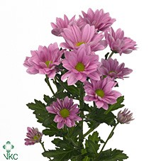 CHRYSANT GRAND PINK