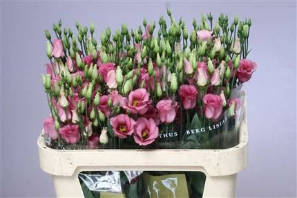 EUSTOMA E PICCOLO ROSE